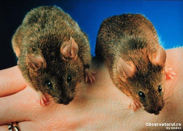 Cum sa inhibi miostatina pentru cresterea muschilor  si pentru o viata mai lunga