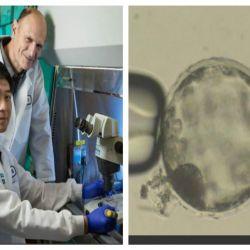 Au fost creati embrioni hibrizi pentru furnizarea nelimitata de organe pentru transplanturi